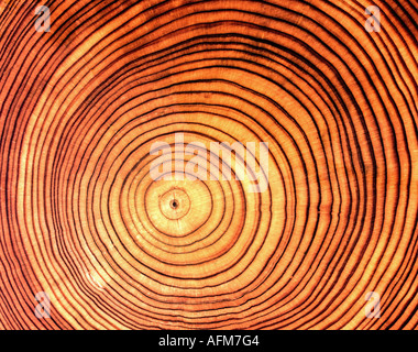 'wood, cross section of bole, larch, (Larix), species, 'Larix europaea', annual rings, profile, log, tree trunk, - Stock Photo