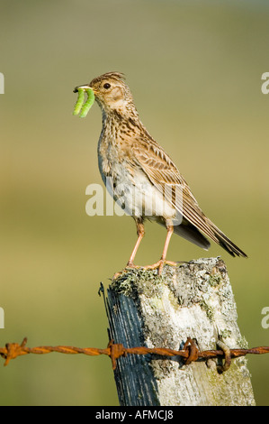 Skylark, Alauda arvensis, with two caterpillars, perched on a fence post - Stock Photo