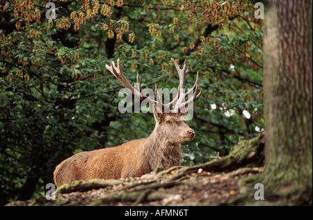 Rothirsch Maennchen mit maechtigem Geweih 14 Ender Red dear Cervus elaphus male - Stock Photo