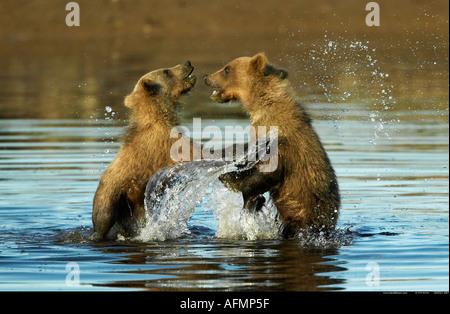 Brown Bear cubs playing in water Katmai National Park Alaska - Stock Photo