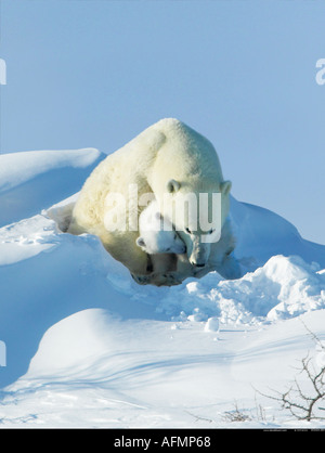 Polar Bear mother with young cub Manitoba Canada - Stock Photo
