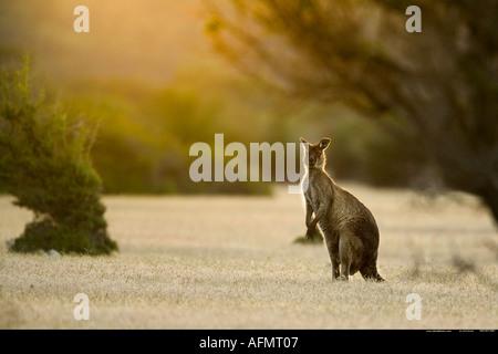 Grey kangaroo watching Kangaroo Island Australia - Stock Photo