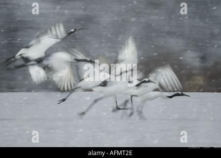 Japanese Cranes taking flight Hokkaido Island Japan - Stock Photo