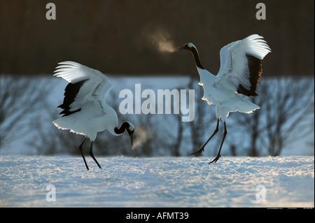 Pair of courting Japanese Cranes on the island of Hokkaido Japan - Stock Photo