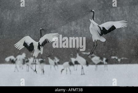 Two Japanese Cranes leaping in dance Hokkaido Island Japan - Stock Photo