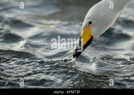 Head of a Whooper Swan Hokkaido Island Japan - Stock Photo