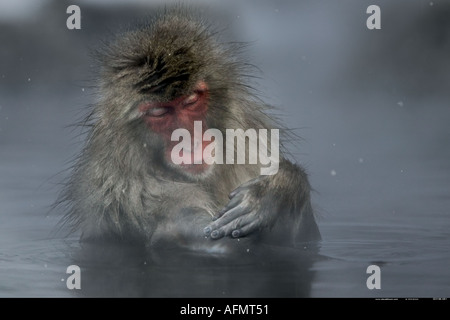 Snow monkey enjoying the hot springs Jigokudani National Park Japan - Stock Photo