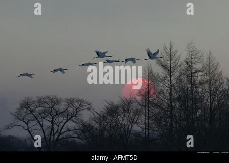 Japanese cranes flying at sunset Hokkaido Island Japan - Stock Photo