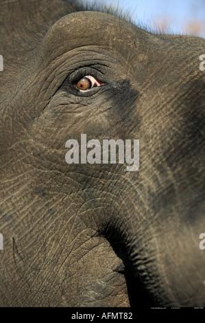 Close up of an Indian Elephant s eye Bandhavgarh India - Stock Photo