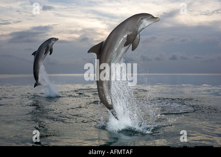 Bottlenose dolphins leaping out of the water Honduras - Stock Photo