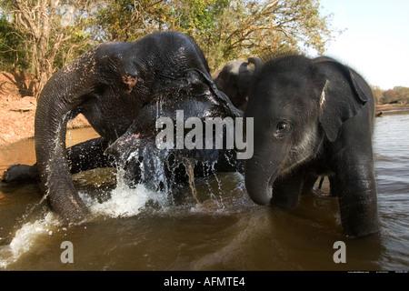 Elephants in the river drinking Kanha India - Stock Photo