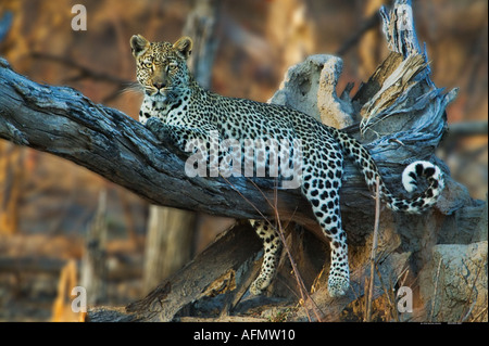 Leopard resting in tree Khwai Botswana - Stock Photo