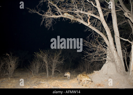 African spotted hyenas watched by a leopard with it s kill Khwai Botswana - Stock Photo
