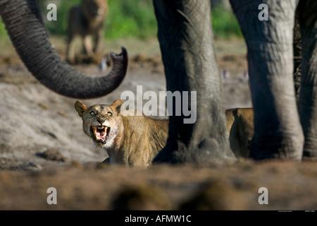 Confrontation between lioness and elephant at waterhole Savuti Botswana - Stock Photo