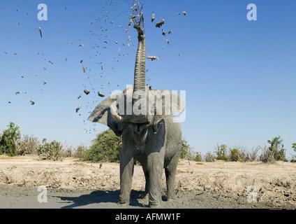 African elephant mudbathing Savuti Botswana - Stock Photo