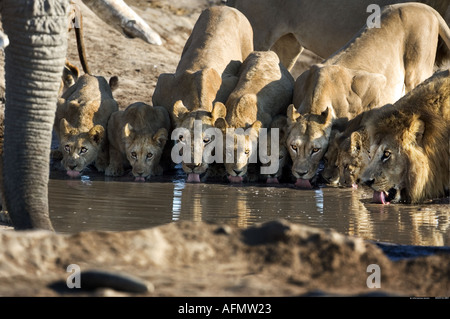 Elephant and family of lions drinking at the waterhole Savuti Botswana - Stock Photo