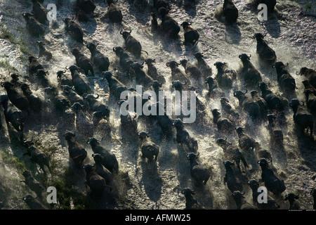 Aerial view of a herd of African buffalo running through the swamp Okavango Delta Botswana - Stock Photo