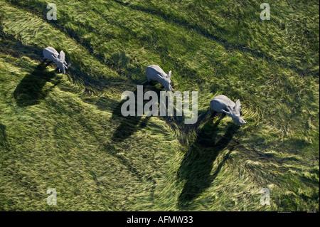 Three Elephants casting shadows photographed from the air Okavango Delta Botswana - Stock Photo