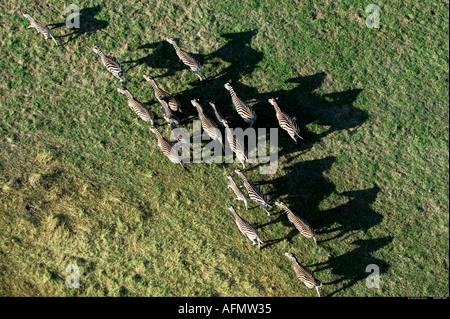 Zebras casting shadows photographed from the air Okavango Delta Botswana - Stock Photo