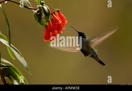 Sparkling Violet ear hummingbird feeding while hovering in front of flower Mindo Cloud Forest Andes Ecuador South - Stock Photo