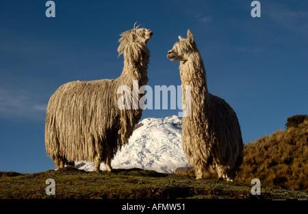 Cotopaxi Volcano 5897m Alpaca Suri Long haired breed of Alpaca Cotopaxi National Park Andes Ecuador South America - Stock Photo