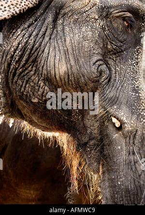 Close up profile of Indian elephant Jaipur India - Stock Photo