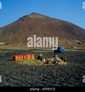 farmers harvesting onions in a field of lava on the island of  Lanzarote, Spain, Europe. Photo by Willy Matheisl - Stock Photo