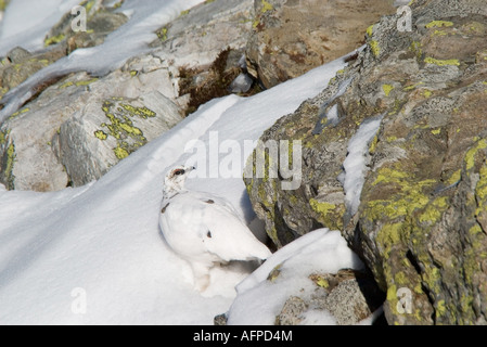 Alpenschneehuhn im Winterkleid Ptarmigan Lagopus mutus in winter plumage