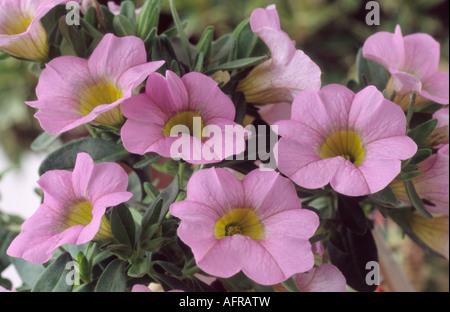 Calibrachoa 'Sunbelpapi' (Million Bells Series) Million Bells Salmon. Close up of small pink petunia like flowers - Stock Photo
