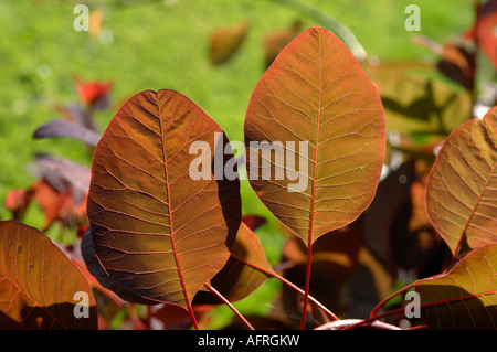 Light shining through the dark red leaves of a smoke tree Cotinus coggygria - Stock Photo