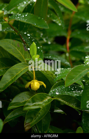Single summersweet blossom in field of green leaves - Stock Photo