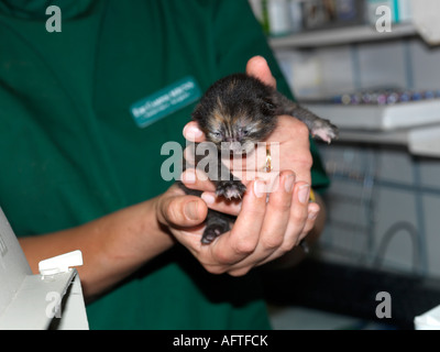 Tiny 5 day old tortoiseshell kitten being examined by a vet - Stock Photo