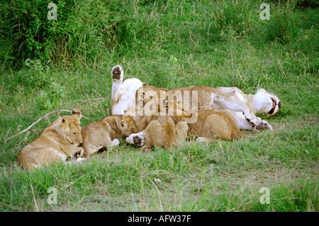 East African or Masai Lioness Suckling Cubs, Panthera leo nubica, Masai Mara, Kenya, East Africa - Stock Photo