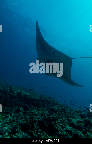Maldives ari atoll rango madivaru a giant manta ray manta birostris - Stock Photo