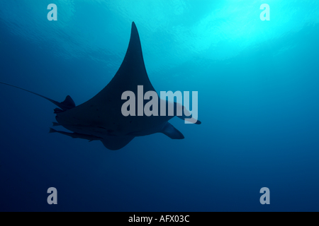 Maldives north male atoll lankan a giant manta ray manta birostris - Stock Photo