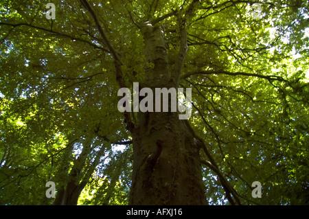 Towering beech tree in Undercliff national nature reserve Devon