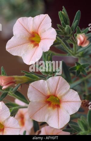 Calibrachoa 'Sunbel-ap' (Million Bells Series) Million Bells Apricot. Close up of small apricot coloured petunia - Stock Photo