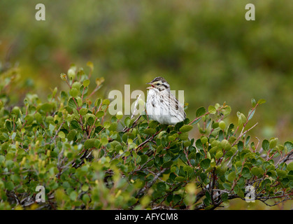 Savannah Sparrow sings out on the Canadian tundra beside Whitefish lake in an area called the Barrenlands, Northwest - Stock Photo