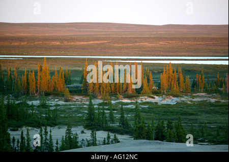 Last light on an oasis of spruce forest in an area called The Barrenlands, near Whitefish lake, Northwest territories, - Stock Photo