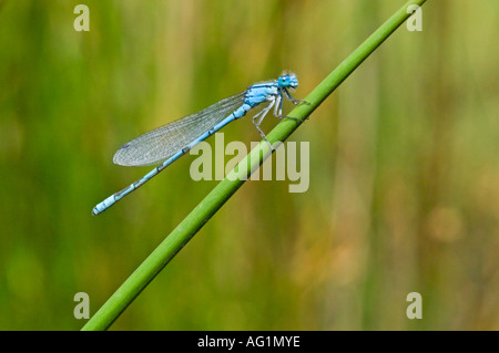 A Common blue damselfly (damsel fly) anallagma cyathigerum resting on a reed. - Stock Photo