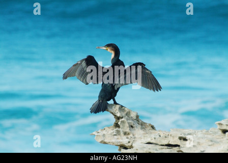 A cormorant dries it s wings in the heat of the sun ready to fly search of it s next meal - Stock Photo