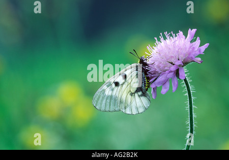 Schwarzer Apollo Clouded Apollo Black Apollo Parnassius mnemosyne - Stock Photo