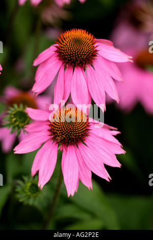Echinacea purpurea Kims Knee High or cone flowers Wisley RHS Gardens Surrey England - Stock Photo