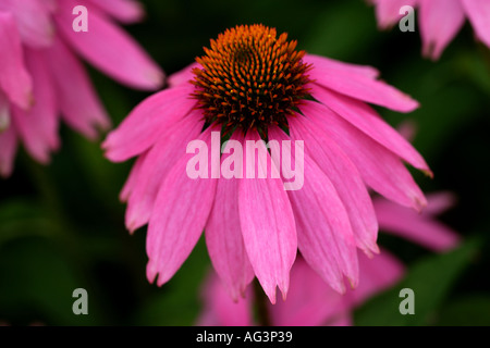 Echinacea purpurea Kim s Knee High or cone flowers Wisley RHS Gardens Surrey England - Stock Photo