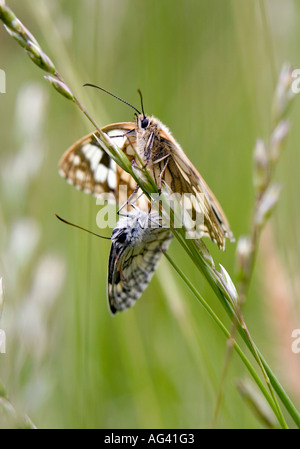Melanargia galathea.  Marbled white butterflies mating in the english countryside - Stock Photo