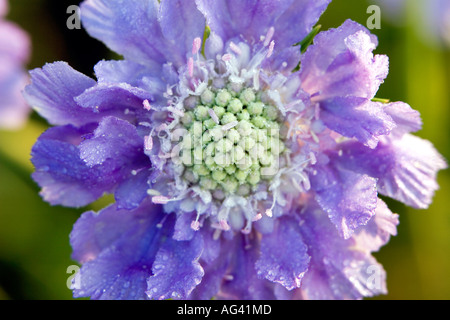 Scabiosa columbaria blue cockade flower head close-up in the sunlight - Stock Photo
