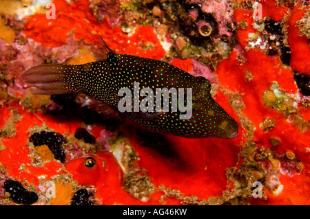 A Spotted Sharpnose Puffer Canthigaster punctatissima in Cocos Island, Costa Rica. Stock Photo