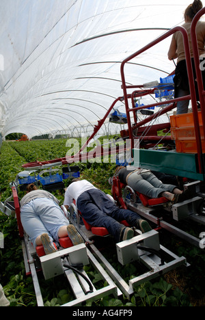 Strawberry picking machine with foreign workers harvests inside polytunnel near Merriworth Tonbridge Kent England - Stock Photo