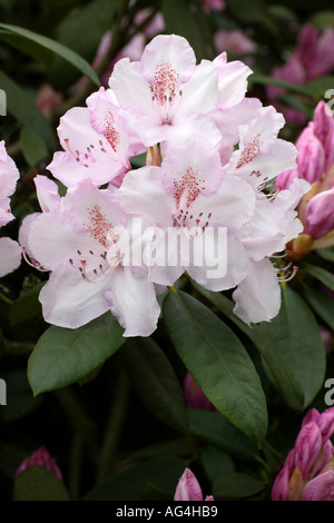 Rhododendron Mrs Charles E Pearson Wisley Royal Horticultural Gardens Surrey England - Stock Photo