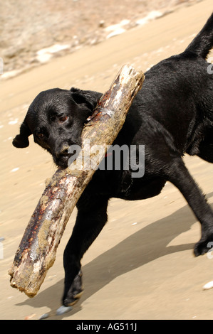 Dog on beach carrying large stick whilst playong - Stock Photo